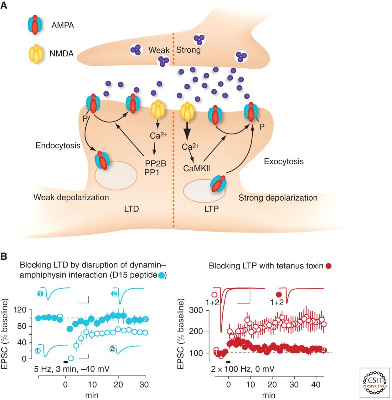 nmda receptor dependent long term potentiation and long termnmda receptor dependent long term potentiation and long term depression (ltp ltd)